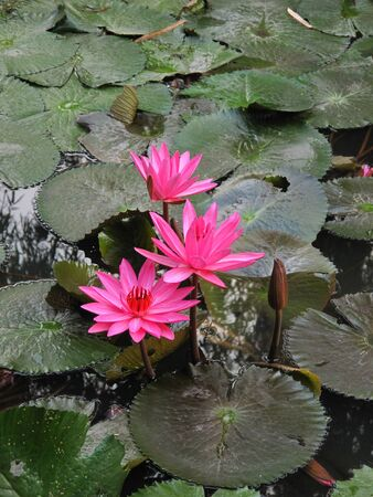 pink water lily flower in the pond photo