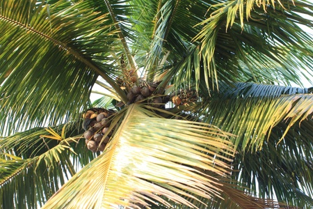 coconut tree in Kerala South India photo