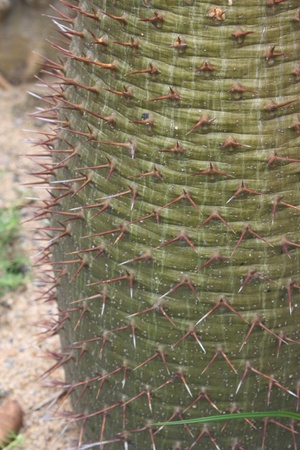 ramosum: closeup of a thorny madagascar cactus (pachypodium lamerei)