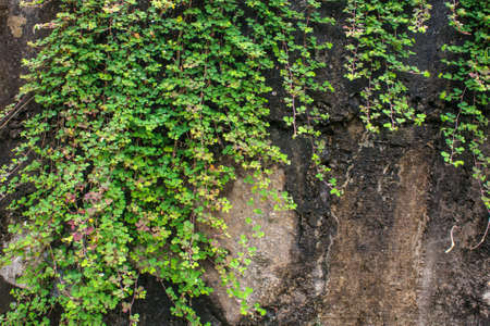 Wall with vine plants look fresh and natural photo
