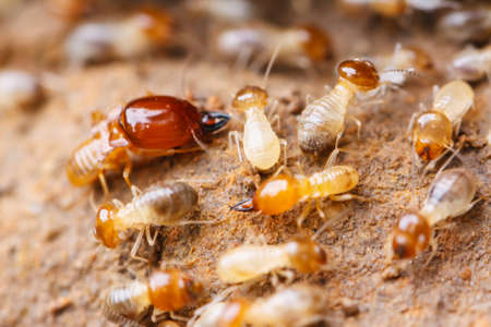 closeup: Worker and nasute termites on decomposing wood