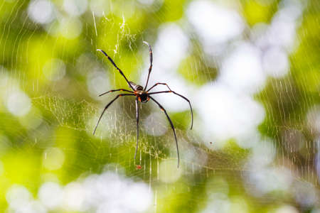 golden orb weaver: Spider waiting for prey on spider web Stock Photo