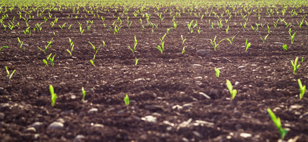 Selective focus of Young wheat seedlings growing in a soil