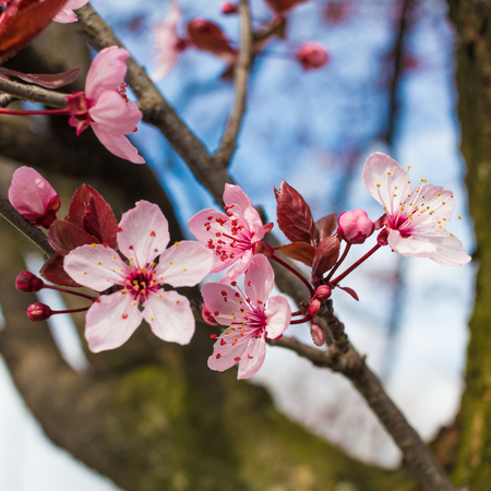 fleur de cerisier: mise au point sélective sur une fleur de cerisier avec le ciel bleu backgroun Banque d'images