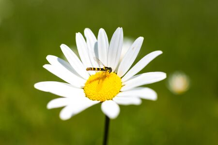 ox eye: Close-up of a hoverfly sitting on an ox eye daisy. Stock Photo