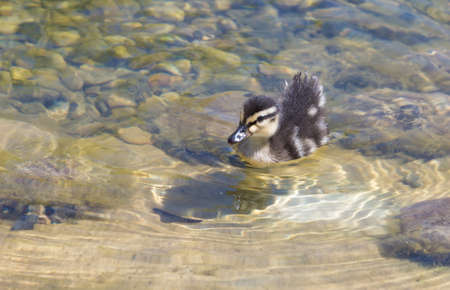 duckling: Duckling in the pond