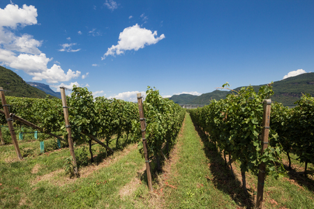 Vineyards on the wine route in Bozen