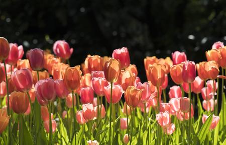 cultivation of tulips - park sigurtà
