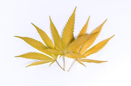 Yellow cannabis leaves