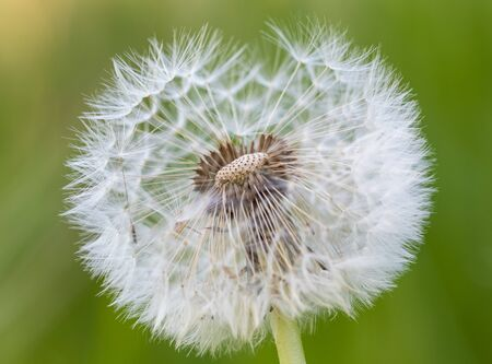 detailed photo of a dandelion