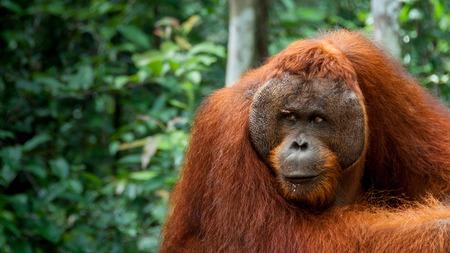 biped: Orang Utan Alpha male resting in Borneo