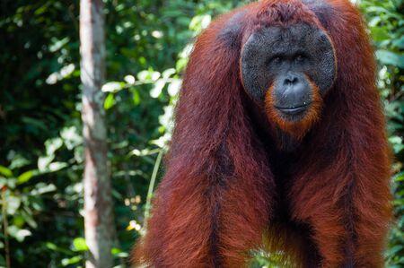 utang: Orang Utan alpha male standing in Tanjung Puting National Park Kalimantan Borneo Indonesia