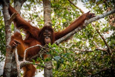 orangutang: Orang Utan sitting on a tree in national park Tanjung Puting Kalimantan Borneo Indonesia
