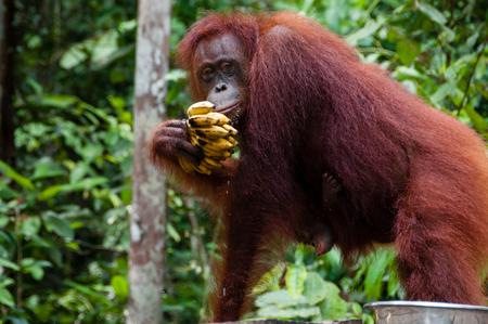 comiendo frutas: Orang Utan comiendo pl�tanos en el Parque Nacional Tanjung Puting de Kalimantan Borneo Indonesia