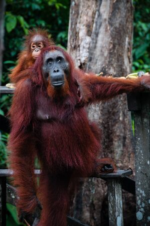 utang: Standing Orang Utan with a baby in national park Tanjung Puting Kalimantan Borneo Indonesia