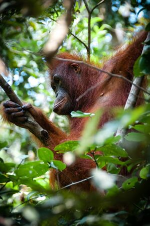 utang: Orang Utan female sitting on a tree in national park Tanjung Puting Kalimantan Borneo Indonesia