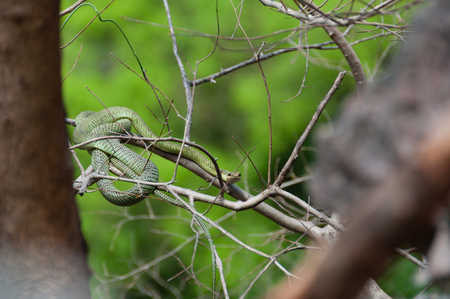 deadly poison: Poisonous Green snake sitting on a branch of a tree in Asia