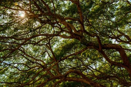 feuille arbre: Grand arbre � l'�tat sauvage vu au Cambodge Angkor Wat