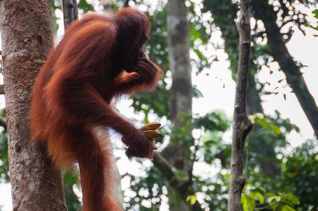utang: Orang Utan sitting on a tree in Borneo, Kalimantan Tanjung Puting Indonesia
