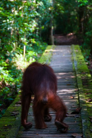 utang: Orangutan from behind walking on a path in national park, Kalimantan, Borneo, Indonesia Stock Photo
