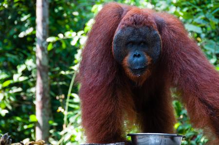 utang: Orang Utan alpha male standing in Borneo Indonesia, Kalimantan Tanjung Puting