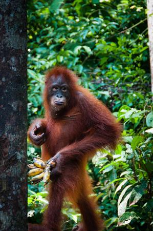 utang: Orang Utang standing with banana in hand in national park, Kalimantan, Borneo, Indonesia Stock Photo