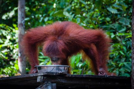 utang: Orangutang drinking from bowl in jungle in national park, Tanjung Puting, Kalimantan, Borneo, Indonesia