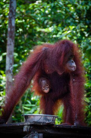 utang: Female Orang Utang with baby in jungle of Borneo, Kalimantan, Tanjung Puting, Indonesia