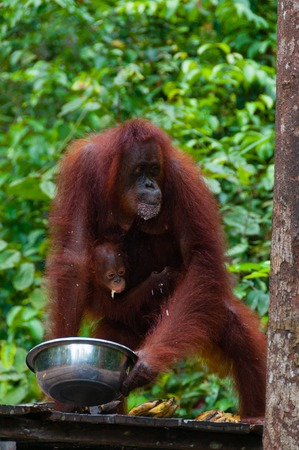 utang: Orang Utang drinking from bowl in jungle of Borneo, national park Tanjung Puting, Kalimantan, Indonesia Stock Photo