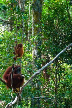 utang: Mother Orang Utan and baby sitting on a tree in the jungle, Indonesia, Tanjung Puting, Borneo, Kalimantan Stock Photo