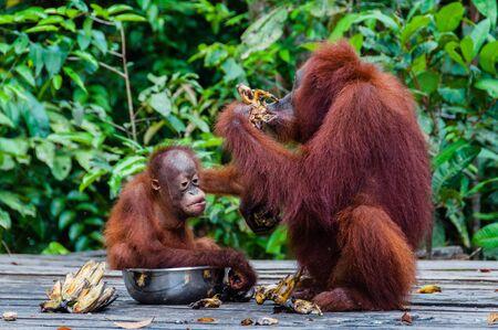 orang: Baby Orang Utan sitting in a bowl with his mother, borneo kalimantan Tanjung Puting Indonesia Stock Photo