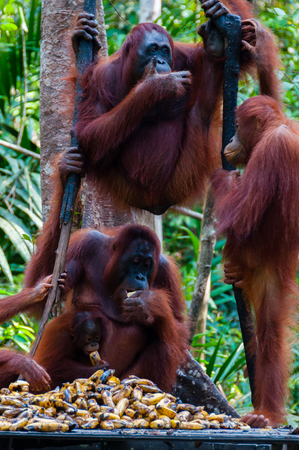 utang: Three Orang Utan hanging on a tree in the jungle, Kalimantan, Borneo, Tanjung Puting, Indonesia