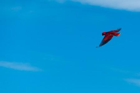 Nuova Guinea: Red Bird pappagallo Scivolando liberamente nel cielo blu chiaro in spiaggia di Raja Ampat, Papua Nuova Guinea