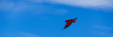 freely: Red Bird parrot Gliding Freely in the clear blue sky at beach of Raja Ampat, Papua New Guinea Stock Photo
