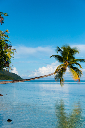 lean over: Fallen Coconut Tree hanging horizontal over The blue Ocean at a beach in Raja Ampat, Papua New Guinea, Indonesia