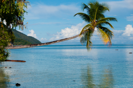 papua new guinea: Fallen Coconut Tree hanging horizontal over The blue Ocean at a beach in Raja Ampat, Papua New Guinea, Indonesia