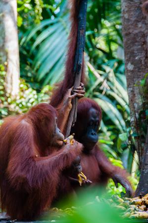 utang: two Orang Utan hanging on a tree in the jungle, Kalimantan, Borneo, Tanjung Puting, Indonesia Stock Photo