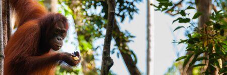 hominid: Orang Utan hanging on a tree in the jungle, Kalimantan, Borneo, Tanjung Puting, Indonesia