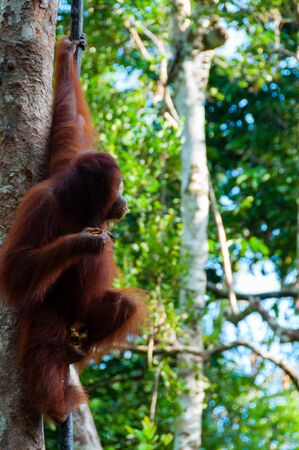 utang: Orang Utan hanging on a tree in the jungle, Kalimantan, Borneo, Tanjung Puting, Indonesia
