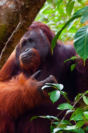 utang: Alpha male orang utan eating portrait front seen in the jungle of national park Tanjung Puting, Kalimantan, Borneo, Indonesia