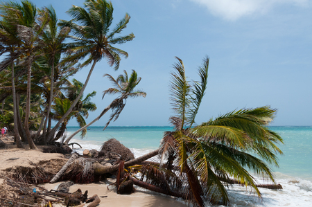 corn island: Palm Trees in the wind on caribbean white sand beach coast under blue sky at tropical caribbean Corn Island in Nicaragua Stock Photo