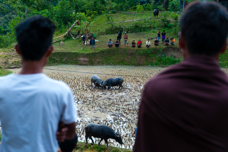 toraja: Two person from behind watching two buffaloes in the field fighting at a funeral in Tana Toraja, Sulawesi, Indonesia Stock Photo