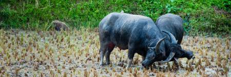 toraja: Two Carabao Buffalos Fighting in the Mud on a field in Tana Toraja, Sulawesi, Indonesia