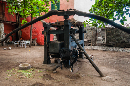 Black goat in front of old wooden mill in a village on cape verde island