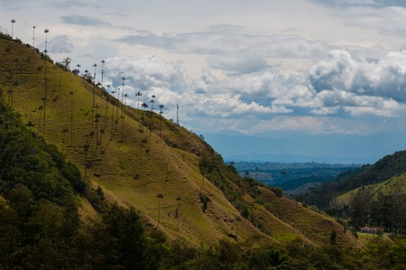 southamerica: Big palm trees on slope of a green hill under cloudy sky of Cocora Valley, Valle de Cocora, Colombia