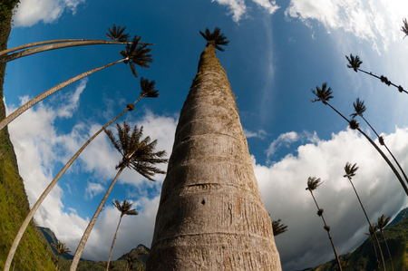 valley below: Tall Palm trees on green grass under blue sky with clouds in Cocora Valley in Colombia