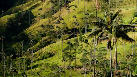 southamerica: Green valley with tall palm tree in front of Valle de Cocora, Colombia Stock Photo