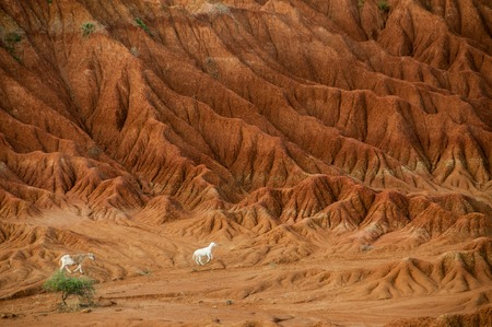 parch: Sheep lamb in the middle of dry sand stone rock desert Tatacoa, Huila, Colombia