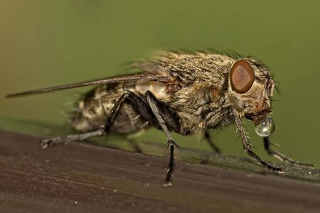 plague: Macro of fly with drop