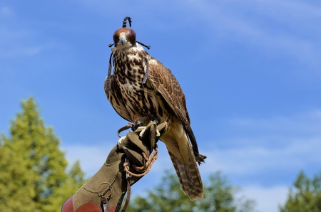 Falcon perched on its trainers hand